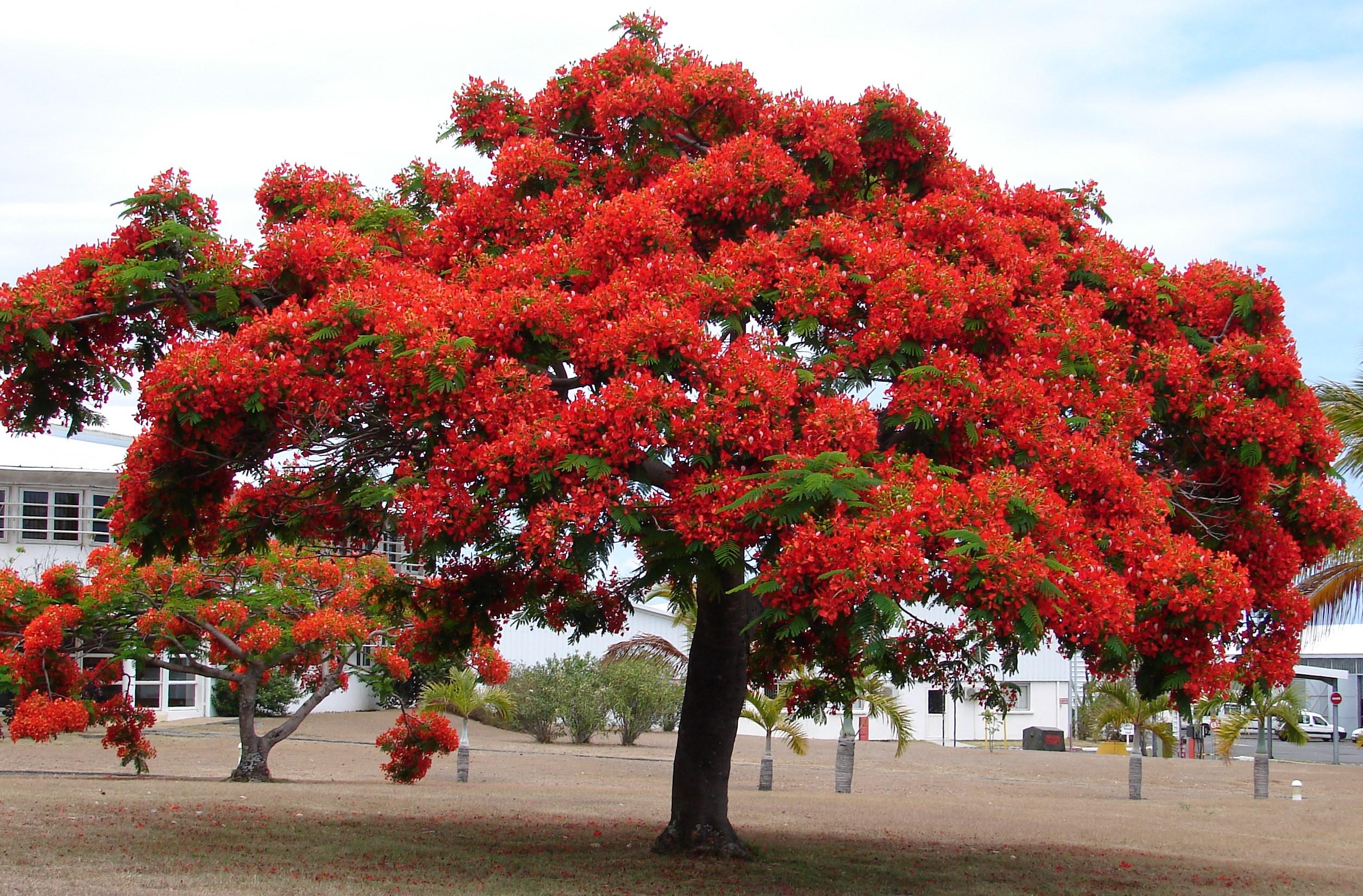 Alignements et arbres remarquables à Menton, ce matin Dsc00084
